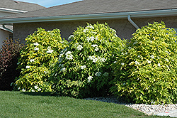 Golden American Elder (Sambucus canadensis 'Aurea') at Echter's Nursery & Garden Center