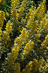 Golden Alexander Loosestrife (Lysimachia punctata 'Golden Alexander') at Echter's Nursery & Garden Center