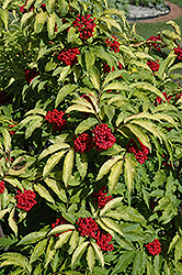 Red-Berried Elder (Sambucus racemosa) at Echter's Nursery & Garden Center