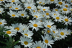 Silver Princess Shasta Daisy (Leucanthemum x superbum 'Silver Princess') at Echter's Nursery & Garden Center