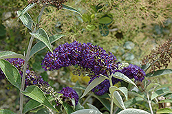 Adonis Blue™ Butterfly Bush (Buddleia davidii 'Adokeep') at Echter's Nursery & Garden Center