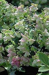 Kent Beauty Oregano (Origanum rotundifolium 'Kent Beauty') at Echter's Nursery & Garden Center