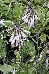 Francee Hosta (Hosta 'Francee') at Echter's Nursery & Garden Center