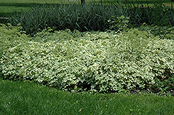 Variegated Bishop's Goutweed (Aegopodium podagraria 'Variegata') at Echter's Nursery & Garden Center