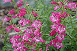 Red Rocks Beard Tongue (Penstemon x mexicali 'Red Rocks') at Echter's Nursery & Garden Center