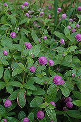 Globe Amaranth (Gomphrena globosa) at Echter's Nursery & Garden Center