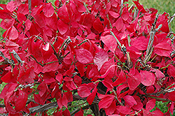 Compact Winged Burning Bush (Euonymus alatus 'Compactus') at Echter's Nursery & Garden Center