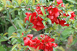 Texas Scarlet Flowering Quince (Chaenomeles speciosa 'Texas Scarlet') at Echter's Nursery & Garden Center