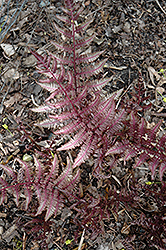 Burgundy Lace Painted Fern (Athyrium nipponicum 'Burgundy Lace') at Echter's Nursery & Garden Center