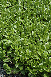Solomon's Seal (Polygonatum humile) at Echter's Nursery & Garden Center