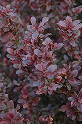 Concorde Japanese Barberry (Berberis thunbergii 'Concorde') at Echter's Nursery & Garden Center