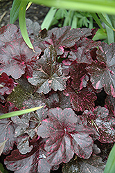 Midnight Rose Coral Bells (Heuchera 'Midnight Rose') at Echter's Nursery & Garden Center