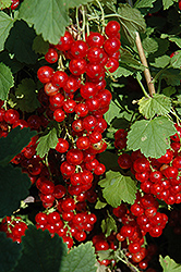 Red Lake Red Currant (Ribes sativum 'Red Lake') at Echter's Nursery & Garden Center