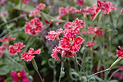 Strawberry Sorbet Pinks (Dianthus 'Strawberry Sorbet') at Echter's Nursery & Garden Center