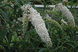 Petite Snow Butterfly Bush (Buddleia davidii 'Monite') at Echter's Nursery & Garden Center