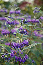 Dark Knight Caryopteris (Caryopteris x clandonensis 'Dark Knight') at Echter's Nursery & Garden Center