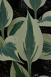 Blue Ivory Hosta (Hosta 'Blue Ivory') at Echter's Nursery & Garden Center