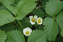 Ozark Beauty Strawberry (Fragaria 'Ozark Beauty') at Echter's Nursery & Garden Center