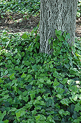 Baltic Ivy (Hedera helix 'Baltica') at Echter's Nursery & Garden Center