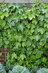 Veitch Boston Ivy (Parthenocissus tricuspidata 'Veitchii') at Echter's Nursery & Garden Center