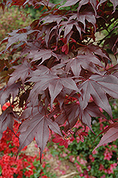 Bloodgood Japanese Maple (Acer palmatum 'Bloodgood') at Echter's Nursery & Garden Center
