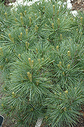 Blue Shag White Pine (Pinus strobus 'Blue Shag') at Echter's Nursery & Garden Center