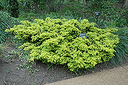 Dwarf Golden Japanese Yew (Taxus cuspidata 'Nana Aurescens') at Echter's Nursery & Garden Center