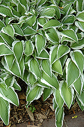 Ginkgo Craig Hosta (Hosta 'Ginkgo Craig') at Echter's Nursery & Garden Center