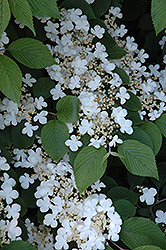 Maries Doublefile Viburnum (Viburnum plicatum 'Mariesii') at Echter's Nursery & Garden Center