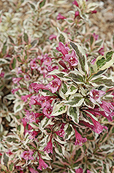 My Monet® Weigela (Weigela florida 'Verweig') at Echter's Nursery & Garden Center