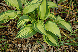 Rainbow's End Hosta (Hosta 'Rainbow's End') at Echter's Nursery & Garden Center