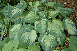 Guardian Angel Hosta (Hosta 'Guardian Angel') at Echter's Nursery & Garden Center