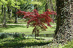 Emperor I Japanese Maple (Acer palmatum 'Emperor I') at Echter's Nursery & Garden Center