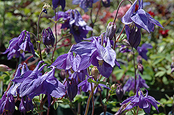 Alpine Columbine (Aquilegia alpina) at Echter's Nursery & Garden Center