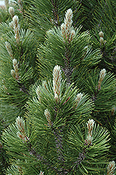 Mint Truffle Bosnian Pine (Pinus leucodermis 'Mint Truffle') at Echter's Nursery & Garden Center