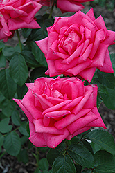 Miss All American Beauty Rose (Rosa 'Miss All American Beauty') at Echter's Nursery & Garden Center