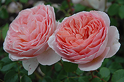 Abraham Darby Rose (Rosa 'Abraham Darby') at Echter's Nursery & Garden Center