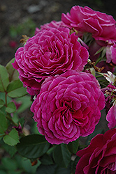 Ebb Tide Rose (Rosa 'Ebb Tide') at Echter's Nursery & Garden Center
