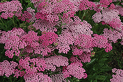 Pink Grapefruit Yarrow (Achillea 'Pink Grapefruit') at Echter's Nursery & Garden Center