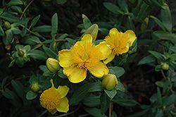 Sunburst St. John's Wort (Hypericum frondosum 'Sunburst') at Echter's Nursery & Garden Center