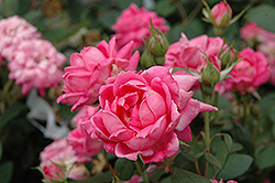 Pink Double Knock Out Rose (Rosa 'Pink Double Knock Out') at Echter's Nursery & Garden Center
