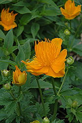 Golden Queen Globeflower (Trollius chinensis 'Golden Queen') at Echter's Nursery & Garden Center