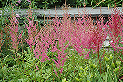 Visions in Pink Chinese Astilbe (Astilbe chinensis 'Visions in Pink') at Echter's Nursery & Garden Center