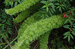 Myers Foxtail Fern (Asparagus densiflorus 'Myers') at Echter's Nursery & Garden Center