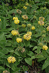Jerusalem Sage (Phlomis fruticosa) at Echter's Nursery & Garden Center