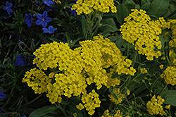 Summit Alyssum (Aurinia saxatilis 'Summit') at Echter's Nursery & Garden Center