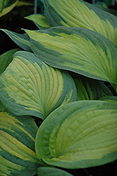 Brother Stefan Hosta (Hosta 'Brother Stefan') at Echter's Nursery & Garden Center