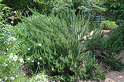 Tuscan Blue Rosemary (Rosmarinus officinalis 'Tuscan Blue') at Echter's Nursery & Garden Center