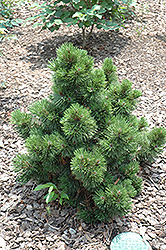 Irish Bell Bosnian Pine (Pinus leucodermis 'Irish Bell') at Echter's Nursery & Garden Center