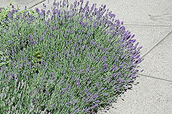 Munstead Lavender (Lavandula angustifolia 'Munstead') at Echter's Nursery & Garden Center